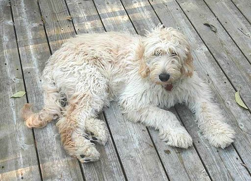 Young Goldendoodle, Shelby