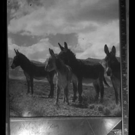 Four burros